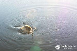 Karpfen durchbricht Wasseroberflaeche